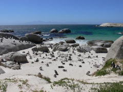 Pinguine in Boulders